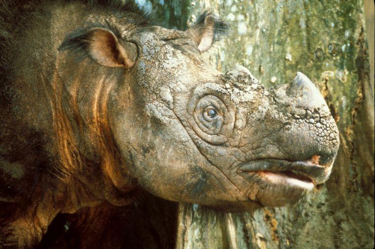 Tam, de Sumatraanse neushoorn