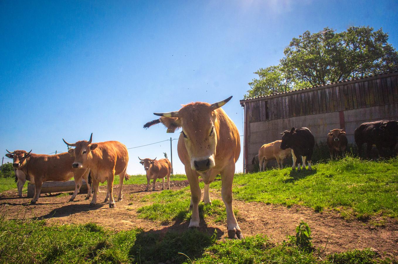"""À la """"Ferme qui Bouge"""", les vaches Aubrac ont remplacé les Blanc-Bleu-Belges."""