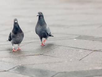 """Oud-officier vervolgd voor doodschieten duif: """"Wilde het dier enkel wegjagen!"""""""