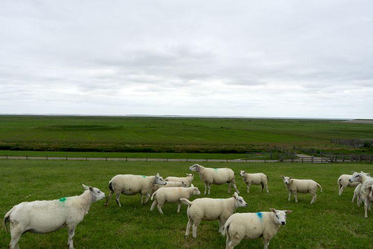 Blija in Friesland. Achter de schapen het slik en de Waddenzee. Beeld Arno Haijtema