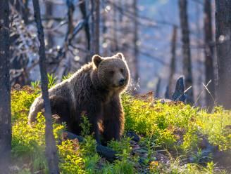 Grizzlybeer die natuurlijke dood stierf plots onthoofd en ontklauwd aangetroffen in Yellowstone National Park