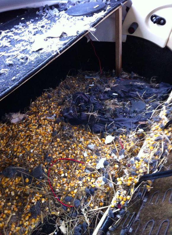 De dieren hadden een nest gemaakt (boven) en de auto lag vol uitwerpselen (onder).