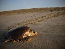 """Les tortues """"changent de sexe"""" à cause du réchauffement climatique"""
