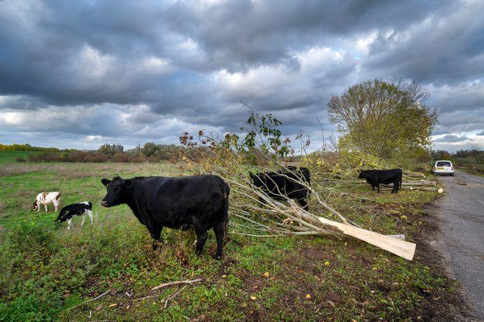 Na de kap van tientallen bomen hebben grote grazers weer de ruimte uit te wijken.