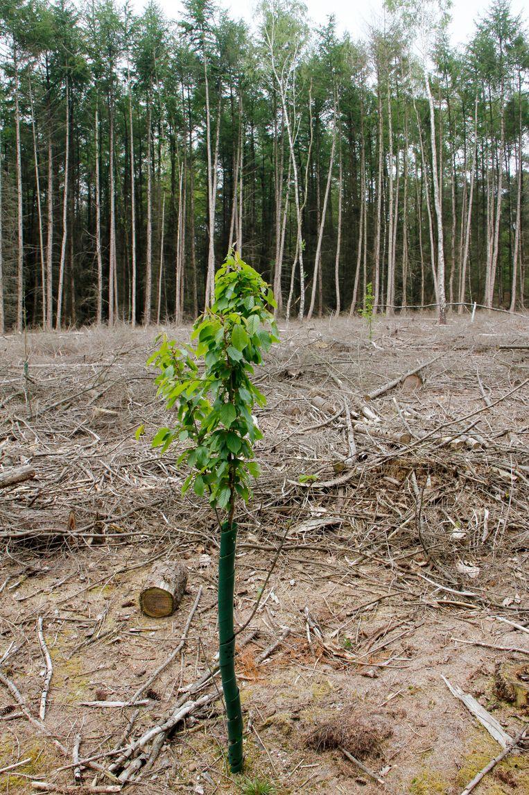 Jonge aanplant van loofbomen in een gerooid stuk dennenbos in het Bergherbos in het Montferland. Om de variëteit van boomsoorten in dit bos te vergroten worden door eigenaar Natuurmonumenten stukken oude naaldboombossen vervangen door aanplant van loofbomen. Beeld HH, Bert Spiertz