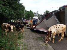Stierentransport kantelt op weg naar slachthuis