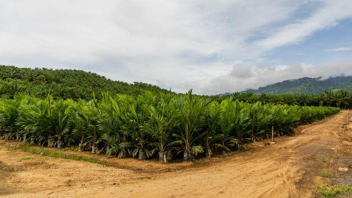 Ooit oerwoud, nu palmolieplantage.