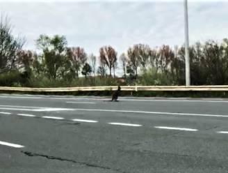 En plots huppelt er een kangoeroe op de Expressweg, automobilist kan dier maar net ontwijken