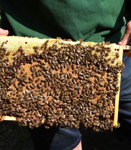 Brummense bijen mogelijk prooi Oost-Europese dieven: 'Vooral koninginnen goud geld waard'