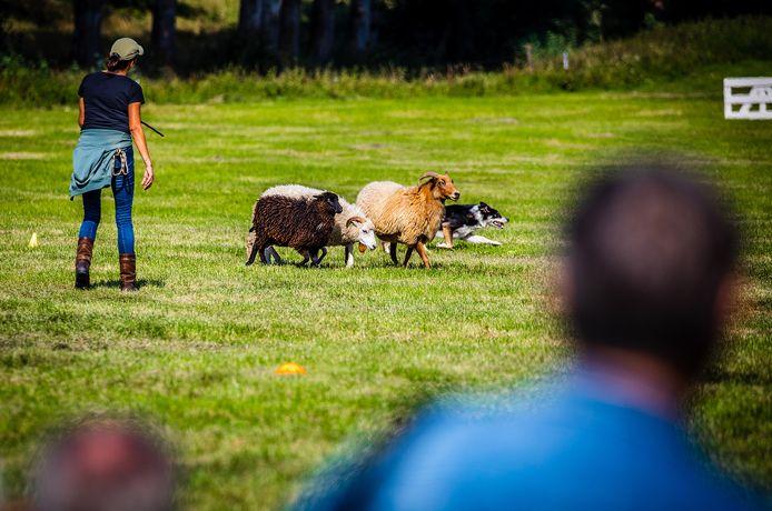 Drukte tijdens Stampei op de Boerderij en de wedstrijden schapen drijven bij boer Commijs in Maasdam.
