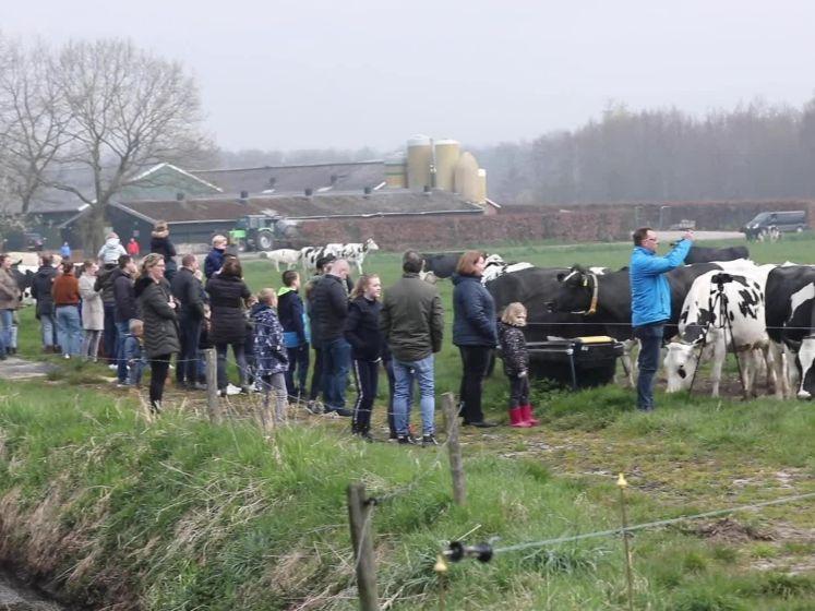 Blijdschap! 180 koeien mogen weer naar buiten in Zenderen