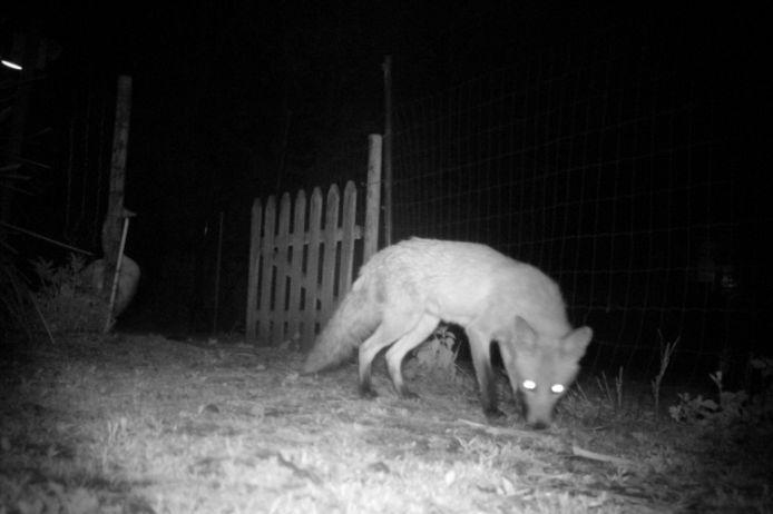 Archiefbeeld van een wilde vos op rooftocht.