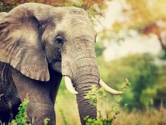 Belgen bouwen rusthuis voor olifanten in Frankrijk