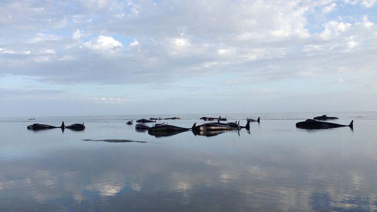 Bijna tweehonderd grienden, een kleine soort walvissen, spoelden gisteren aan op een strand in Nieuw-Zeeland. Beeld epa