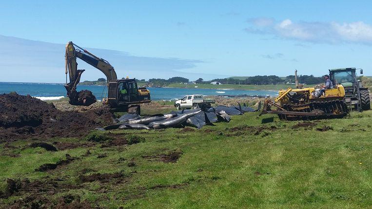 Graafwerken om de dode walvissen op Chatham Island te begraven. De dieren werden afgelopen vrijdag gevonden. Beeld REUTERS
