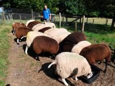 Rottweilers van buurman bijten keer op keer de schapen van Bert (86) dood: 'Doe wat!'