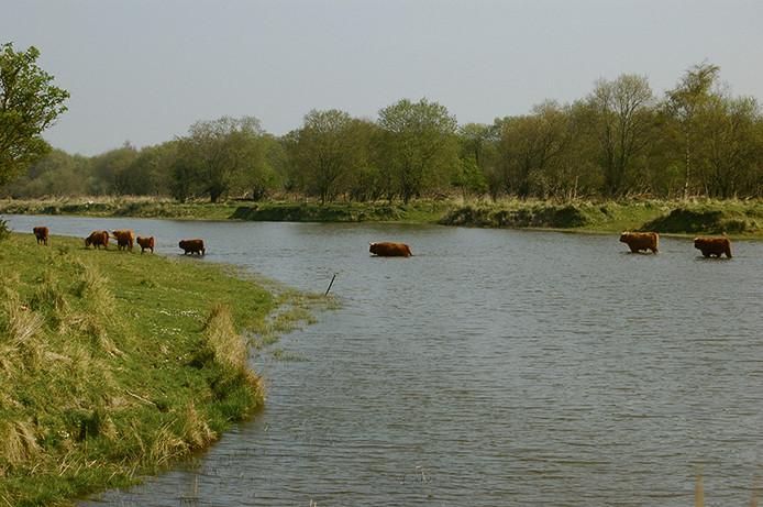 Op de Slikken van de Heen groeien zo'n 35 soorten bomen en struiken. Tot nu toe waren er alleen runderen en paarden actief. Vanaf maandag ook bizons.