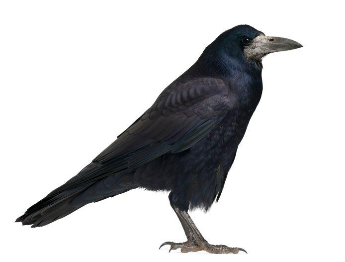 Roek, corvus frugilegus