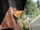 De zeldzame vlinder De Grote Vos zorgt er voor dat in Enschede de bestrijding van de eikenprocessierups niet overal kan doorgaan