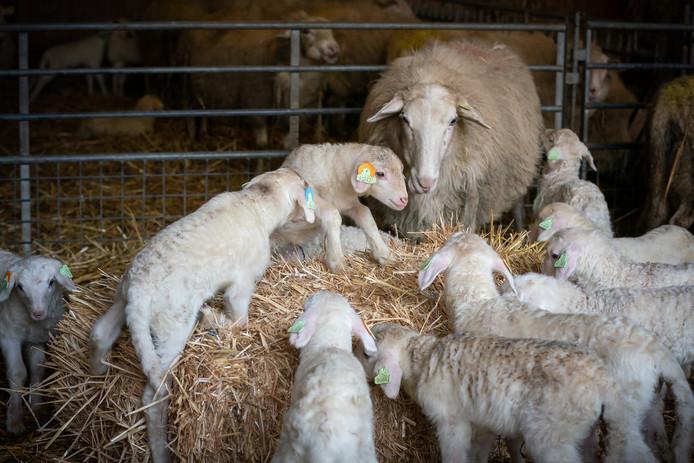 lammetjes schapen schaap bennekom herder 19022020