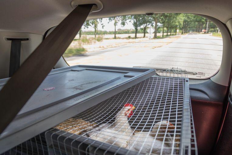 De kip en de haan in de auto op weg naar de slacht.   Beeld Pauline Niks