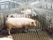 Bedrijfsleider varkenshouderij Markelo veroordeeld tot taakstraf voor mishandelen bevallende zeug: 'Het gegil ging door merg en been'