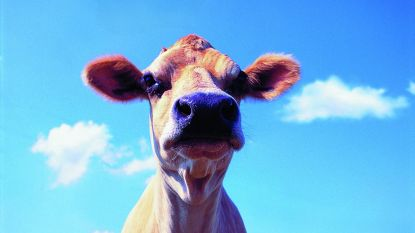 Bromfietser in levensgevaar na botsing met koe nabij Andenne