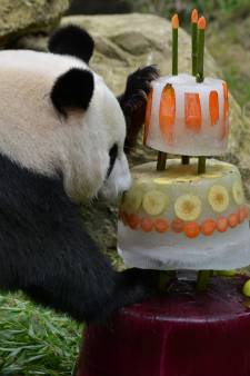 Vijf kaarsjes voor jarige panda's in Ouwehands Dierenpark