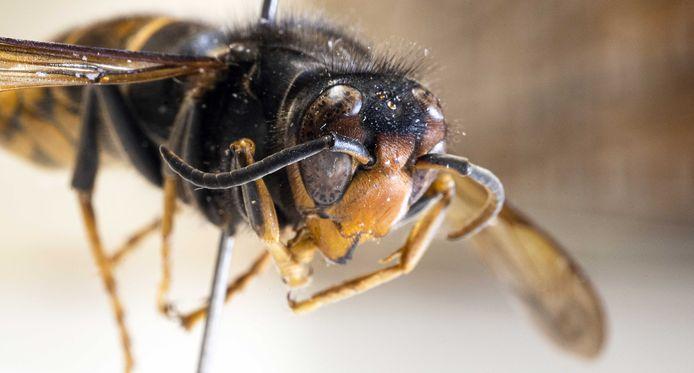 Een opgezette Aziatische hoornaar in museum Naturalis.