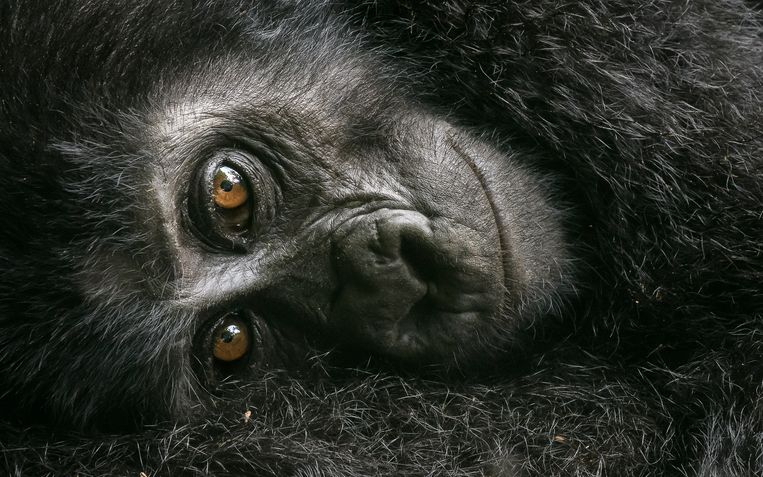 Een gorillajong in de armen van zijn of haar moeder in South Bwindi, Uganda.  Beeld David Lloyd