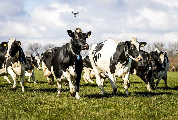 Koeien in de wei, foto ter illustratie
