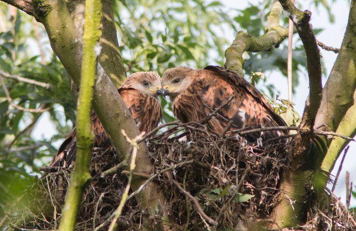 Rode wouwen op een nest in een Twents natuurgebied