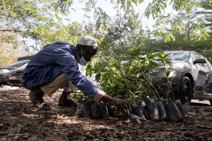 Een man telt de hardhoutbomen die hij ontvangen heeft van de regering naar aanleiding van 'Groene Ghana-dag'.