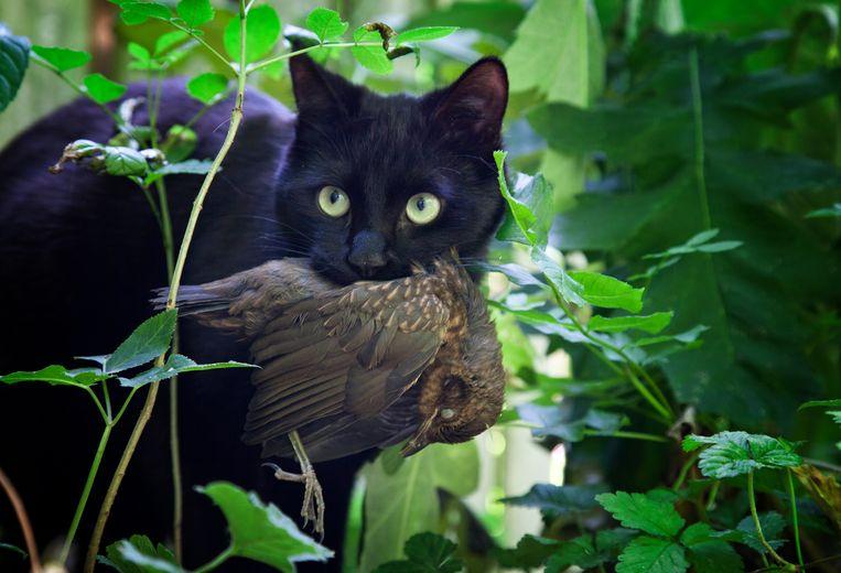 Een kat heeft zojuist een jonge merel of lijster gedood. Merels worden niet opgegeten door katten, lijsters wel. Beeld Theo Audenaerd