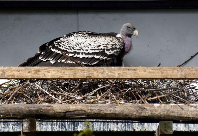 Rüppellsgier op het nest in de gierenvolière diergaarde Blijdorp