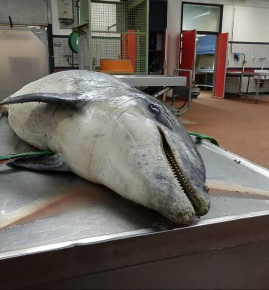 De overleden dolfijn tijdens onderzoek door de faculteit Diergeneeskunde in Utrecht.