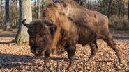 Eerste bizon in 250 jaar duikt op in Duitsland. Autoriteiten schieten hem dood