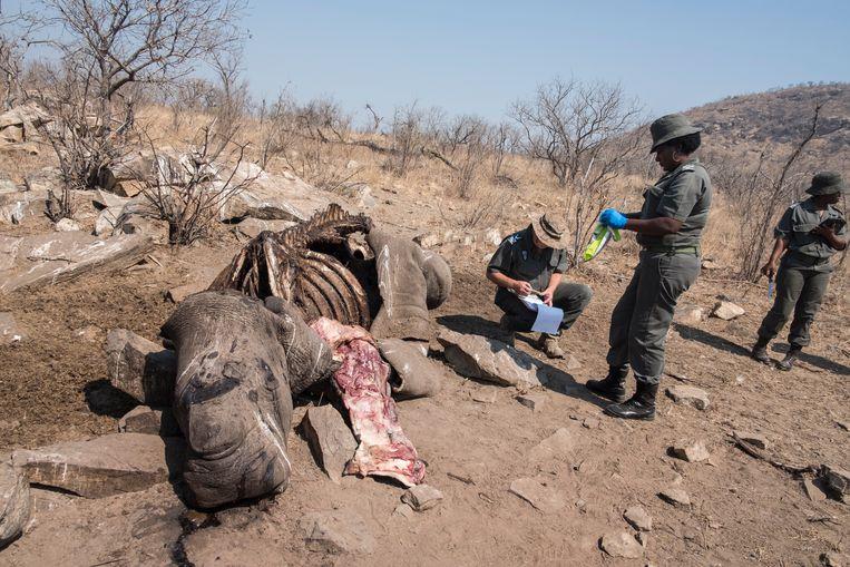 Zuid Afrikaanse forensics van Krugerpark nemen DNA van een gedode witte vrouwtjes neushoorn. Beeld Hollandse Hoogte / AFP