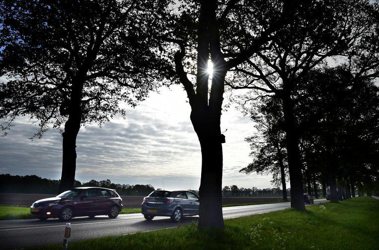 Monumentale bomen langs de N319 tussen Ruurlo en Groenlo in de Achterhoek staan op de nominatie om gekapt te worden. Beeld Marcel van den Bergh