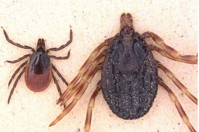 De hyalommateek is een stuk groter dan reguliere teken in Nederland.