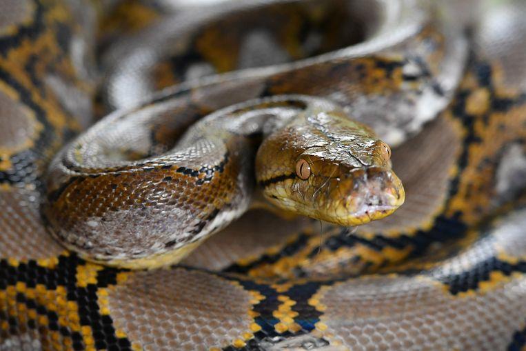 Een python had zich rond de nek van het slachtoffer gewurmd.
