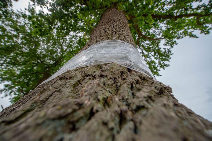 """Inwoners van Staphorst bedenken van alles om de eikenprocessierups te bestrijden, in de eikenbomen heeft men plastic folie gespannen zodat de rupsen niet naar boven of beneden kunnne kruipen. ,,Niet doen, het werkt averechts"""", zegt de gemeente Staphorst."""