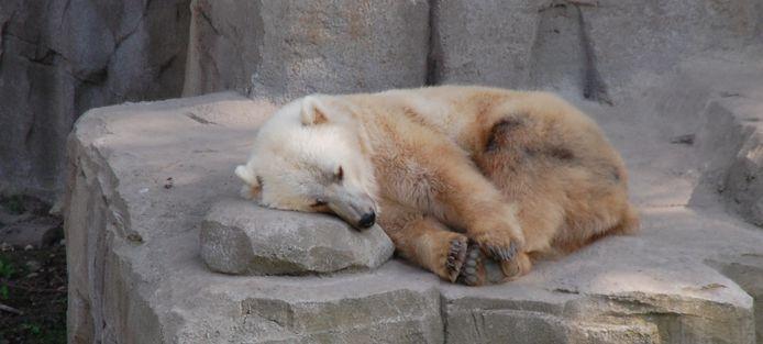 Een ijsgrizzly.