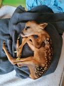 De reeën zijn allemaal het slachtoffer van loslopende honden, volgens het Vlaams Opvangcentrum (VOC) voor Vogels en Wilde Dieren Brasschaat-Kapellen.