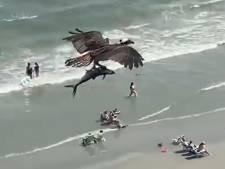 Un balbuzard pêcheur emporte un énorme poisson dans les airs