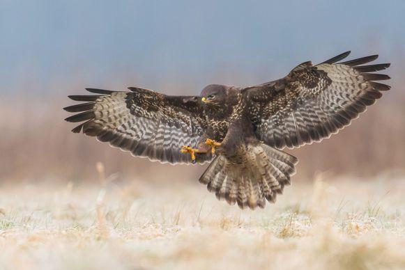 De buizerd is geen kleine vogel, en komt steeds vaker voor: in Vlaanderen zijn er al ruim 5.000 broedparen. Spanwijdte: 1,1 meter tot 1,3 meter
