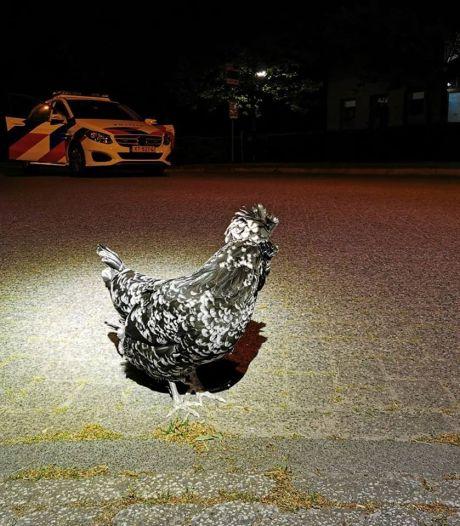 Kip zwerft rond door de straten van Moergestel