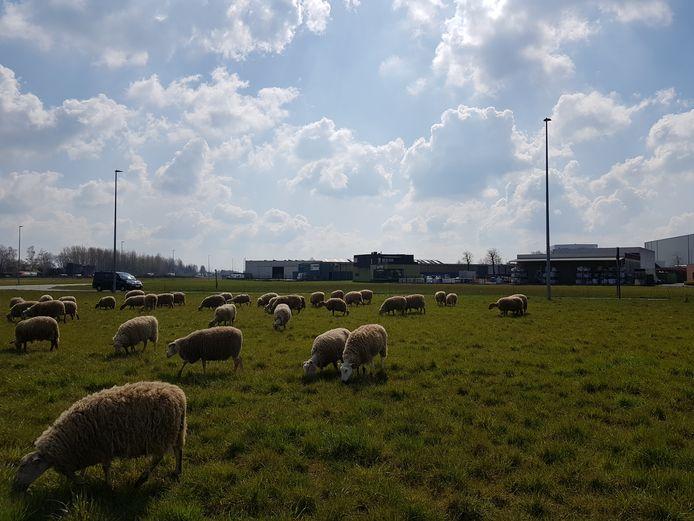 De schapen van De Prijkels.