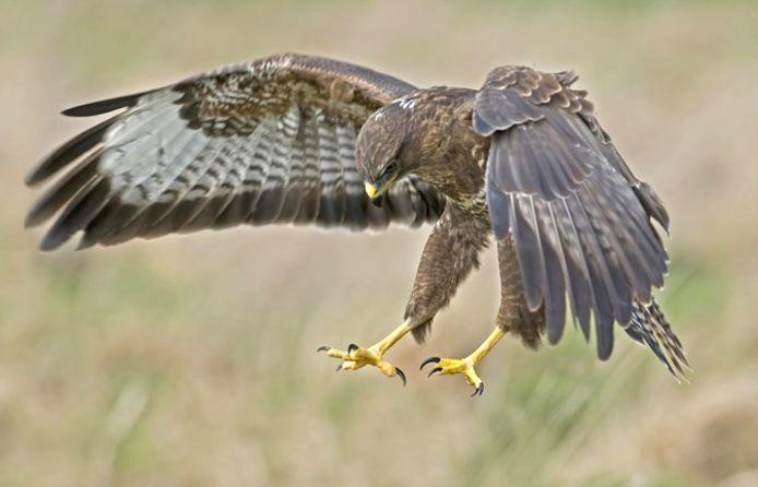 De buizerd is zeker geen kleine vogel: het dier heeft een spanwijdte van 1,1 tot 1,3 meter.