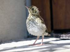 Dierenambulance overspoeld met belletjes over kwetsbare vogeltjes: 'Vaak snelle nestverlater'